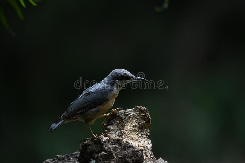 Nuthatch on a tree trunk stock image