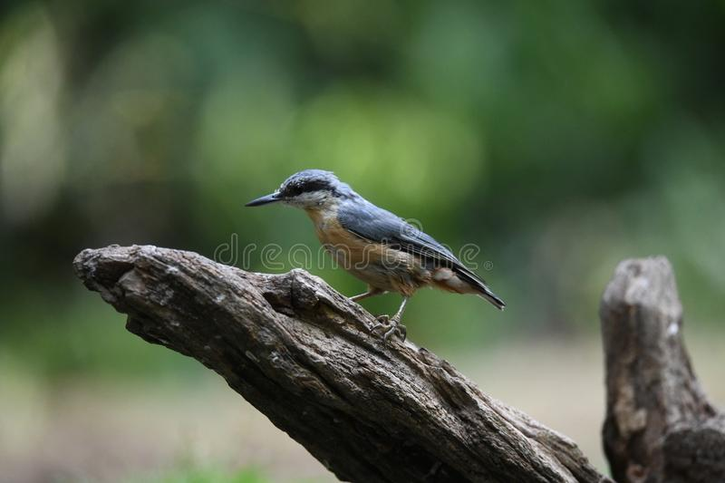 Nuthatch on a tree trunk stock images