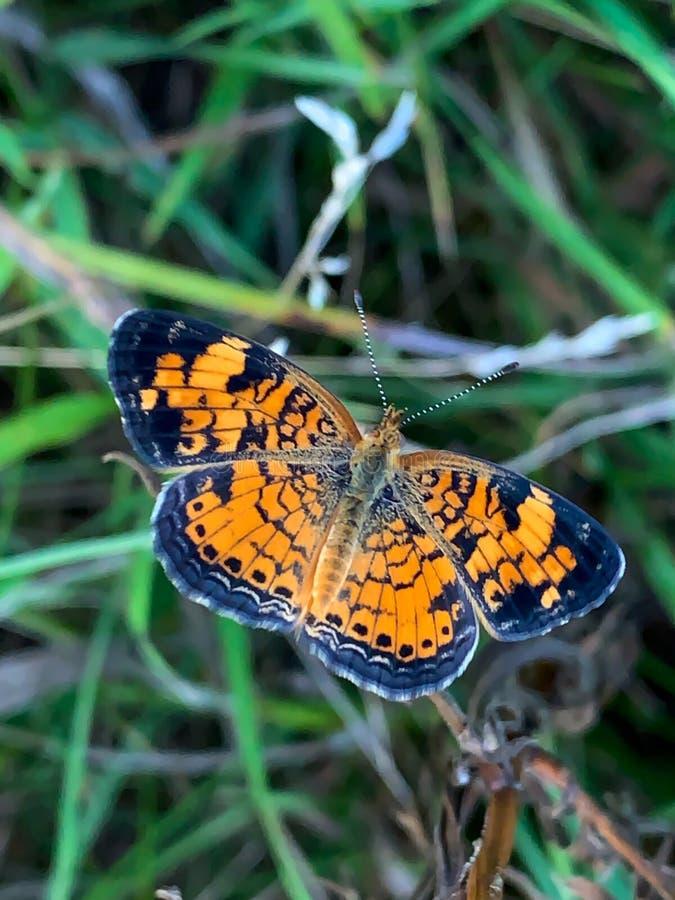 Summer in Omaha, Orange and Black Pearl Crescent Butterfly Phyciodes tharos, at Ed Zorinsky lake park, Omaha, Nebraska, USA royalty free stock image