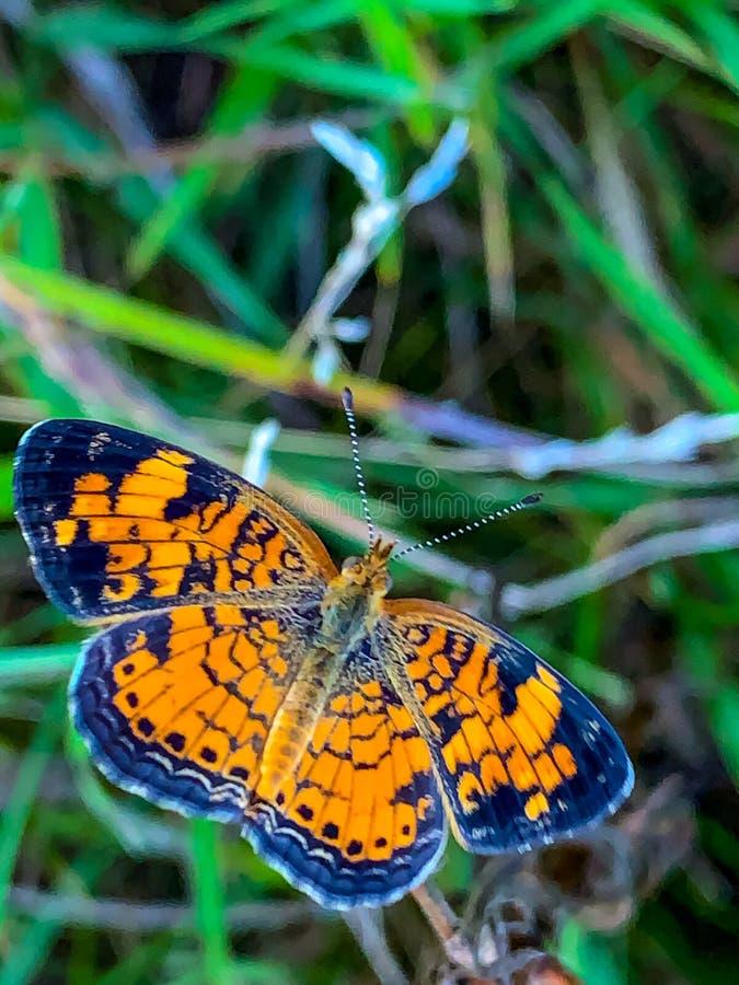 Summer in Omaha, Orange and Black Pearl Crescent Butterfly Phyciodes tharos, at Ed Zorinsky lake park, Omaha, Nebraska, USA stock photography