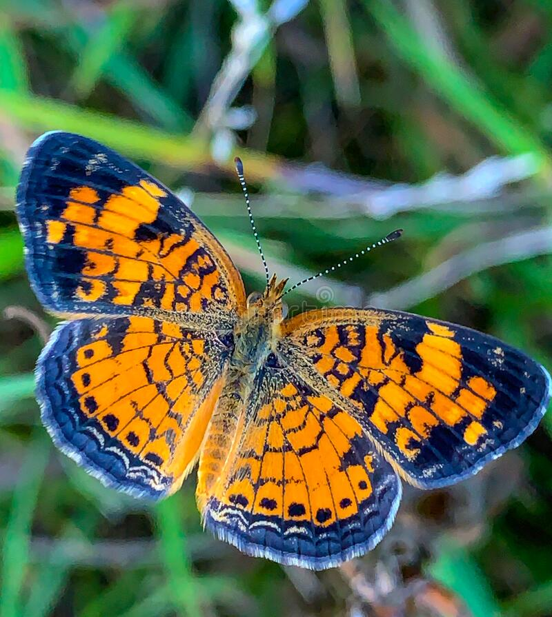 Summer in Omaha, Orange and Black Pearl Crescent Butterfly Phyciodes tharos, at Ed Zorinsky lake park, Omaha, Nebraska, USA stock images