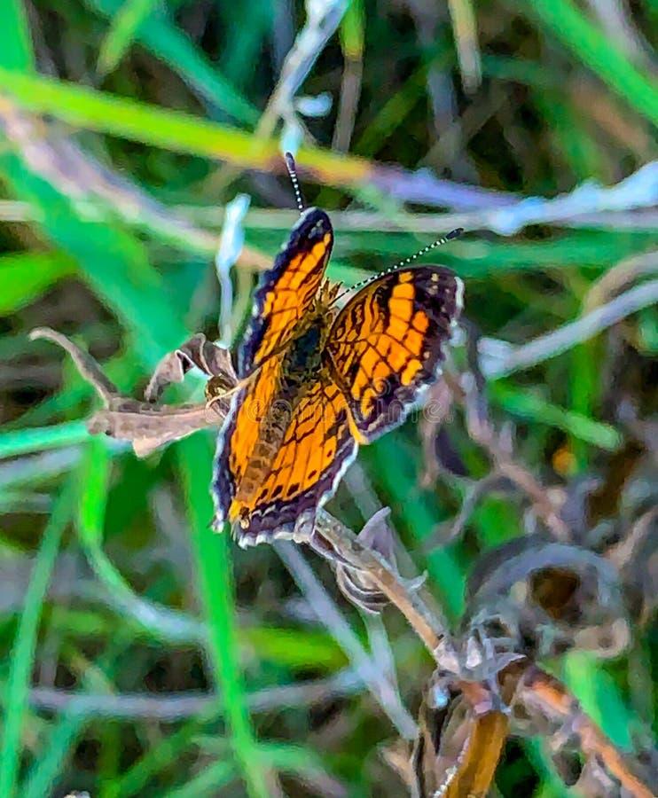 Summer in Omaha, Orange and Black Pearl Crescent Butterfly Phyciodes tharos, at Ed Zorinsky lake park, Omaha, Nebraska, USA stock image