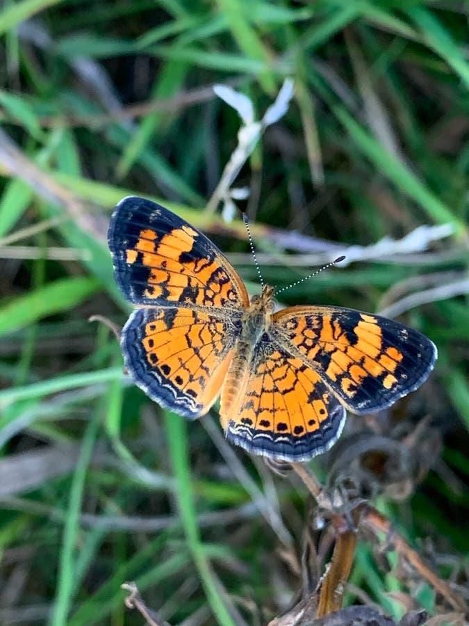 Summer in Omaha, Orange and Black Pearl Crescent Butterfly Phyciodes tharos, at Ed Zorinsky lake park, Omaha, Nebraska, USA stock photo