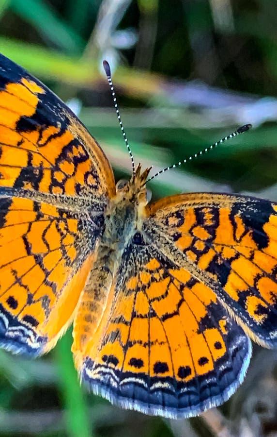 Summer in Omaha, Orange and Black Pearl Crescent Butterfly Phyciodes tharos, at Ed Zorinsky lake park, Omaha, Nebraska, USA royalty free stock photo