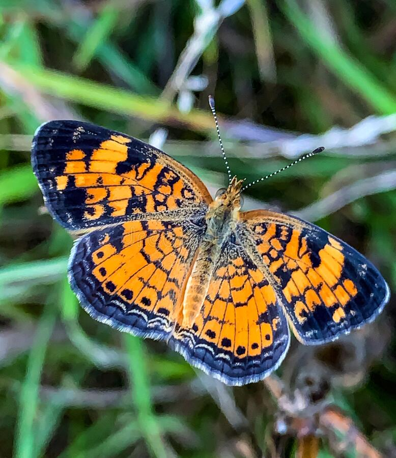 Summer in Omaha, Orange and Black Pearl Crescent Butterfly Phyciodes tharos, at Ed Zorinsky lake park, Omaha, Nebraska, USA stock photos