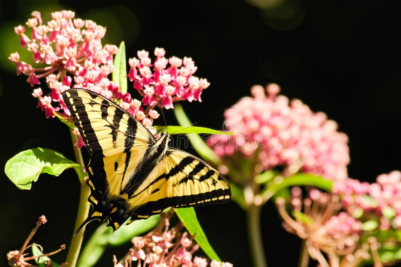 Oregon Swallowtail in black. Summer in our brother and sister`s garden there are many beautiful things. This is one. Enjoy royalty free stock images