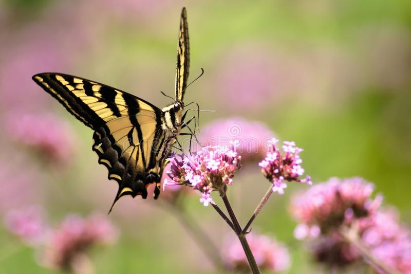 Oregon Swallowtail Butterfly in Summer 2. Summer in our brother and sister`s garden there are many beautiful things. This is one. Enjoy royalty free stock photography