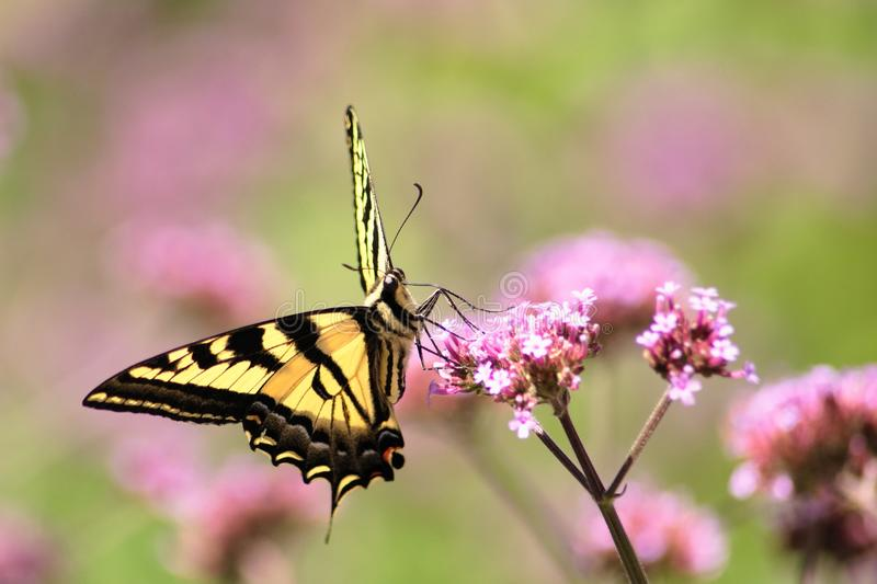 Oregon Swallowtail Butterfly in Summer 3. Summer in our brother and sister`s garden there are many beautiful things. This is one. Enjoy royalty free stock image