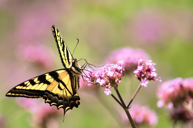 Oregon Swallowtail Butterfly in Summer 4. Summer in our brother and sister`s garden there are many beautiful things. This is one. Enjoy royalty free stock photo