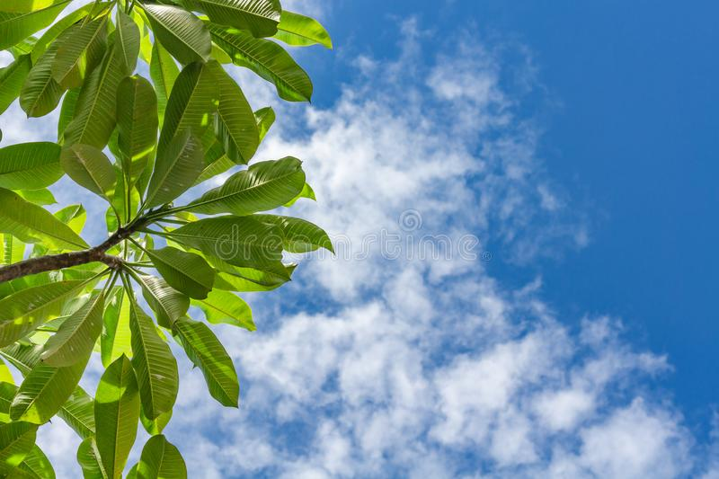 Summer outdoor background with blue sky, light white clouds and leaves of plumeria frangipani tree. Blue copy space and fresh stock photo