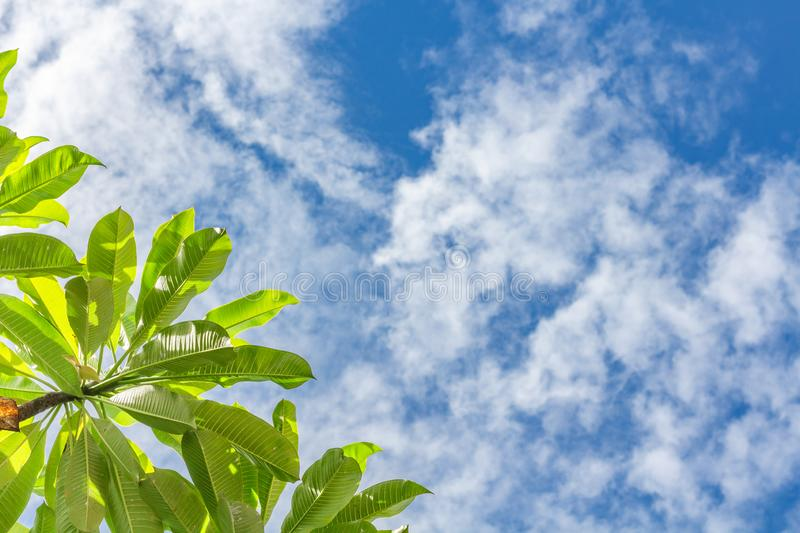 Summer outdoor background with blue sky, light white clouds and leaves of plumeria frangipani tree. Blue copy space and fresh royalty free stock images