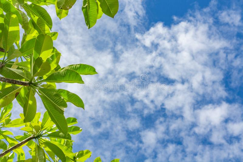 Summer outdoor background with blue sky, light white clouds and leaves of plumeria frangipani tree. Blue copy space and fresh royalty free stock photography
