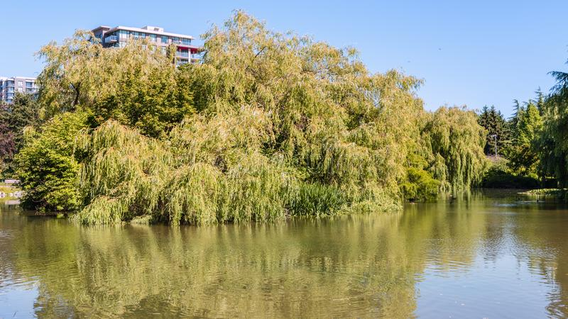 summer park near a pond with floating ducks, green trees, a multi-storey building royalty free stock photos