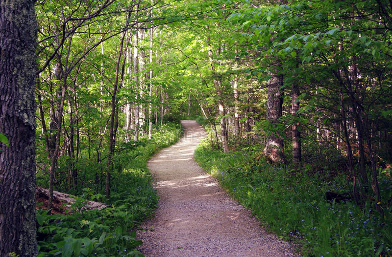 Summer Path in Woods. This is a path in the woods of Northern Michigan. It is lined with forget-me-not wildflowers. Taken in the summer in Munising, Michigan stock photography