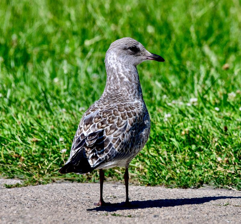 A Herring Gull #3. This is a Summer picture of a Herring Gull on a path in Lincoln Park located in Chicago, Illinois in Cook County.  This picture was taken on royalty free stock photos