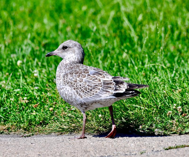 A Herring Gull #4. This is a Summer picture of a Herring Gull on a path in Lincoln Park located in Chicago, Illinois in Cook County.  This picture was taken on stock photo