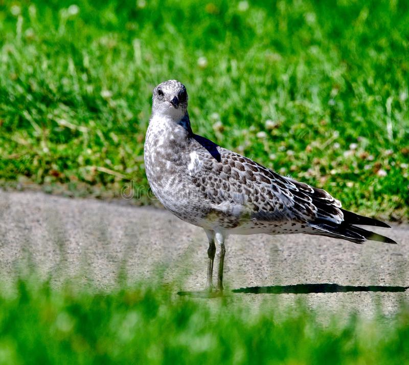 A Herring Gull #5. This is a Summer picture of a Herring Gull on a path in Lincoln Park located in Chicago, Illinois in Cook County.  This picture was taken on royalty free stock photos