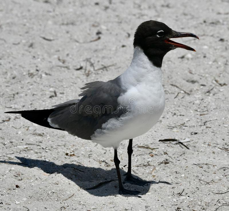 A Laughing Gull Laughing royalty free stock photo