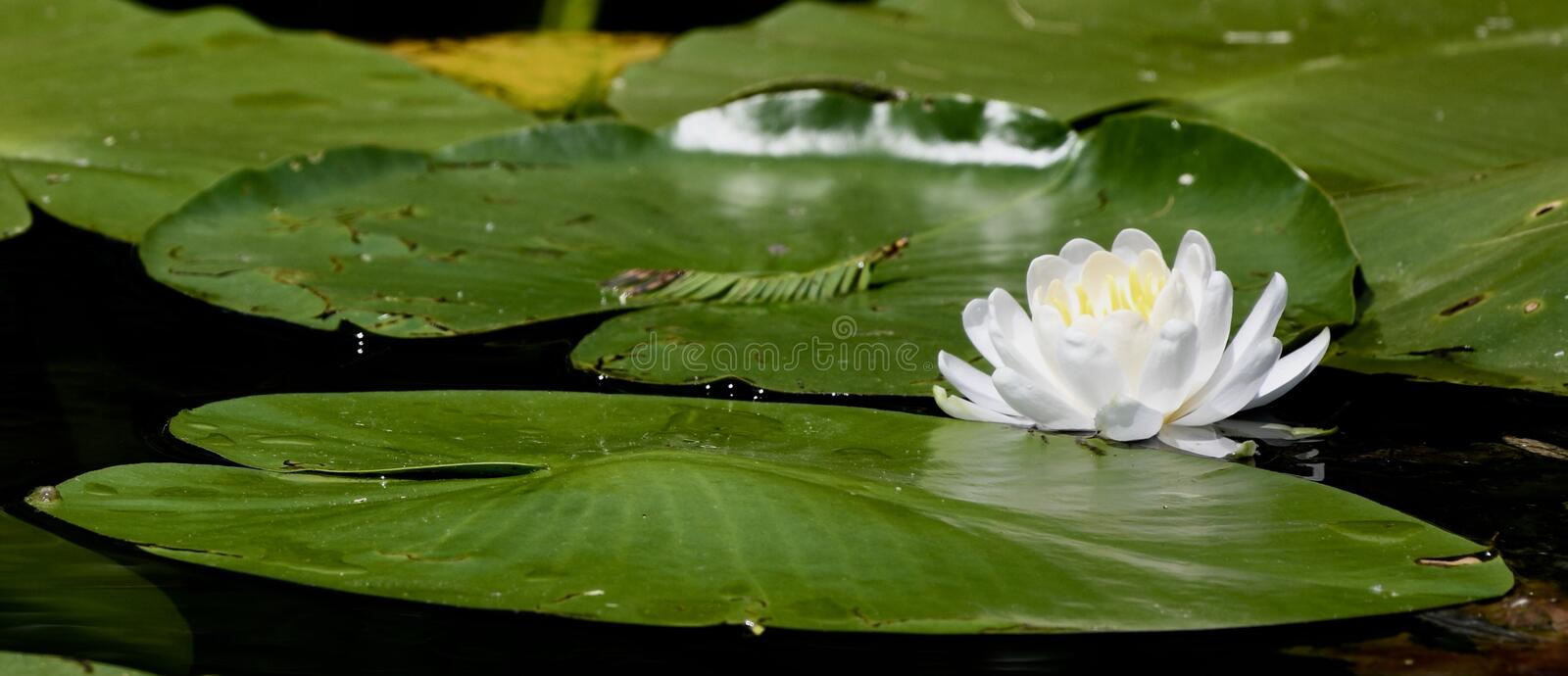 Lily Pad and a Water Lily. This is a Summer picture of Lily pads and a water Lily on the pond at the Alfred Caldwell Lily Pond located in Lincoln Park in Chicago stock images