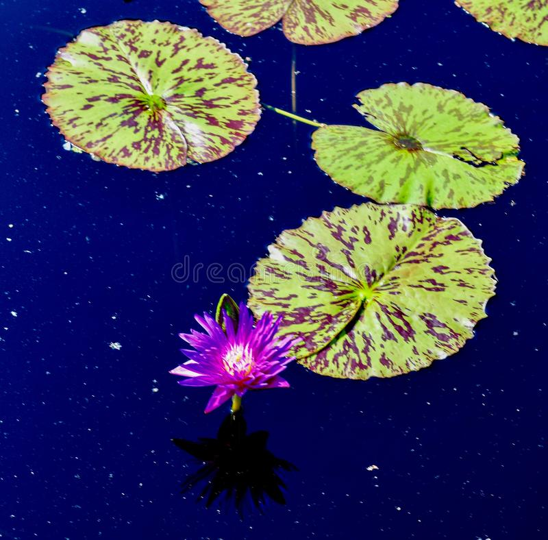 Water Lily #1. This is a Summer picture of a Water Lily in the Chicago Botanical Gardens located in Glencoe, Illinois in Cook County.  This picture was taken on royalty free stock photo
