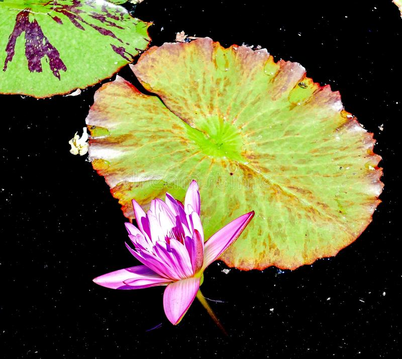Water Lily #1. This is a Summer picture of a Water Lily in the Chicago Botanical Gardens located in Glencoe, Illinois in Cook County.  This picture was taken on royalty free stock photography