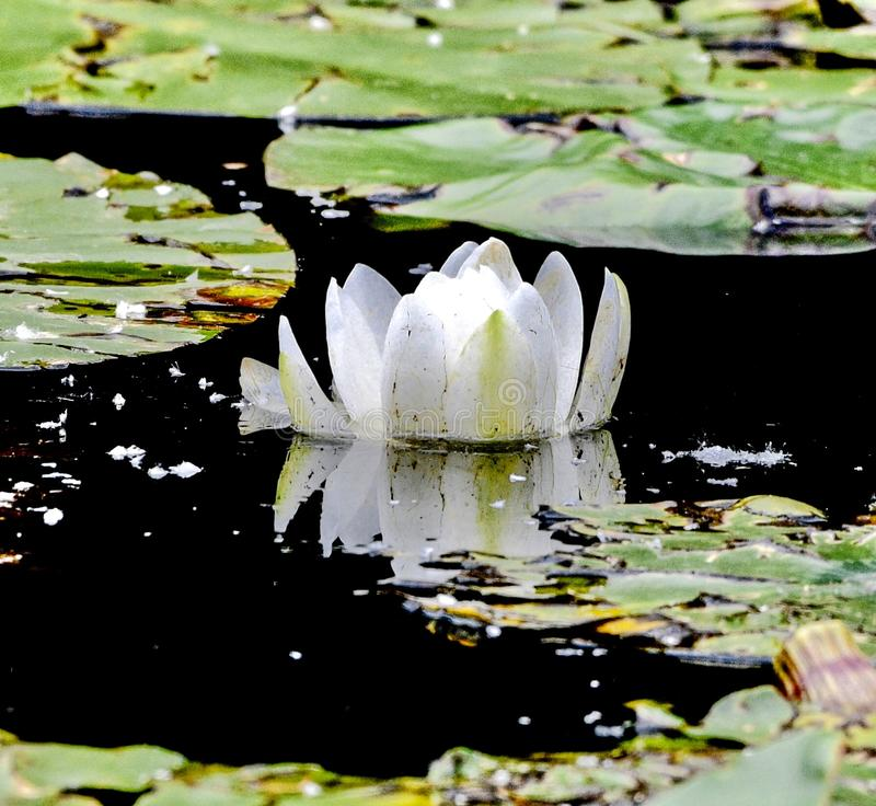 A White Lilly in Near Full Bloom. This is a Summer picture of a White Lily in Near full bloom on the Alfred Caldwell Lily Pond in Lincoln spark located in stock photo