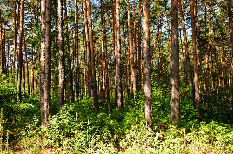 Download Summer Pine Forest Stock Images - Image: 16248884