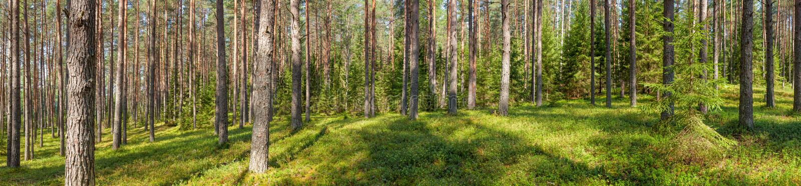 Summer pine forest panorama stock photos