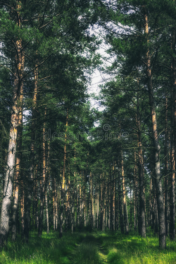 Summer Pine Forest. Path in the pine forest on a summer sunny day stock photography