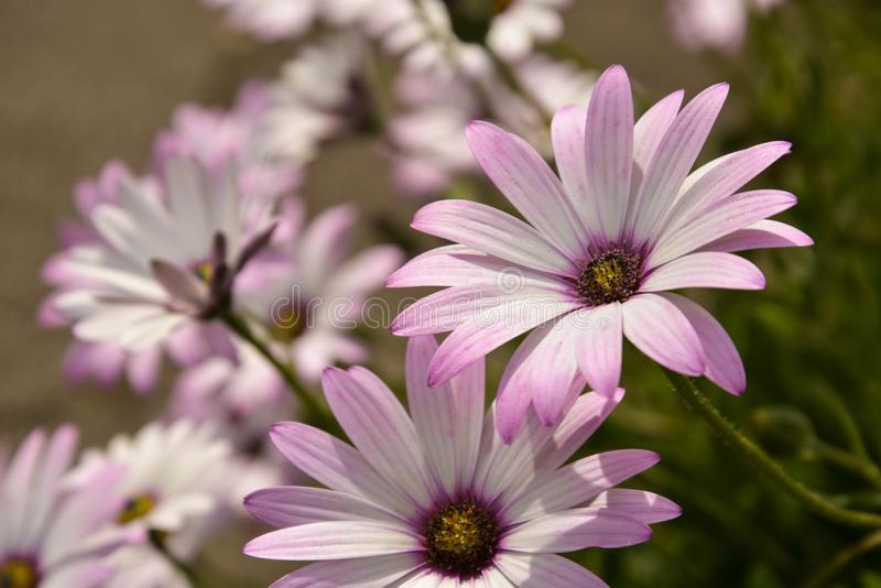 Summer pink camomiles flower bush. Garden live flowers. Closeup, floral, background, abstract, outdoor, spring, flowrs, nature, beauty, daisy, petal, plant royalty free stock images