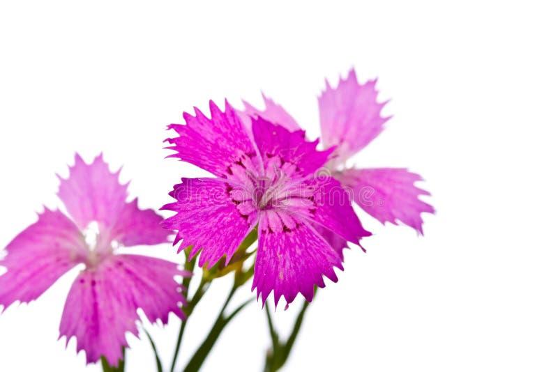 Summer Pink  Flower Stock Image