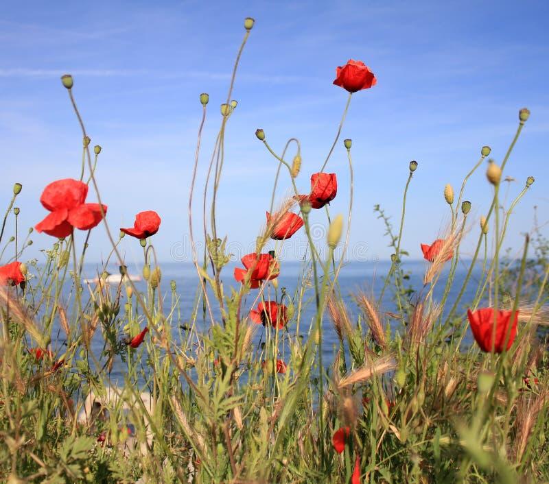Summer poppies field stock photo