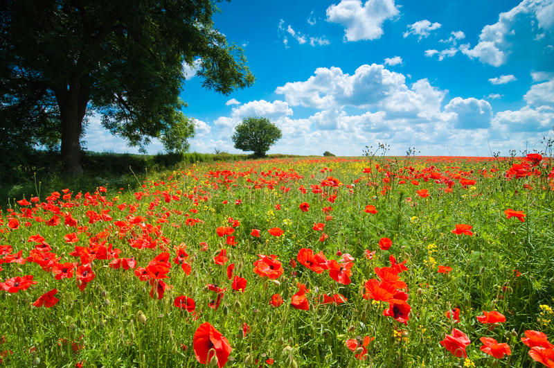Summer Poppy Field royalty free stock photo