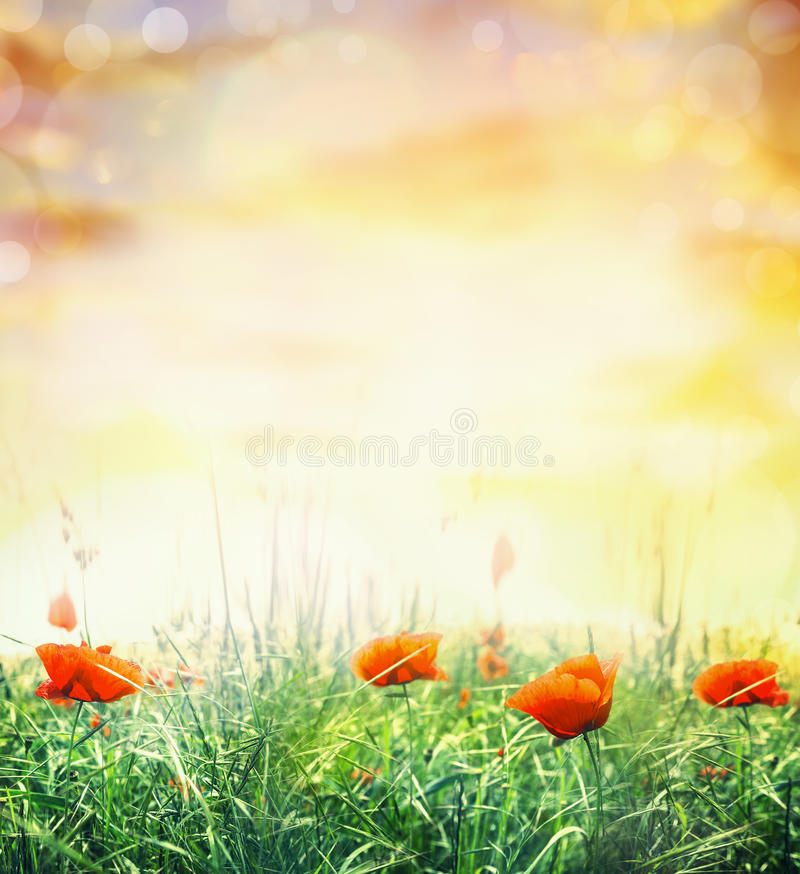 Summer poppy field in sun light and bokeh, nature background stock image