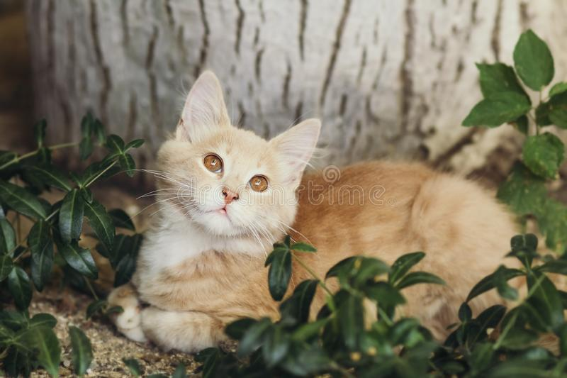 Summer portrait of a cute ginger kitten with brown eyes lying under a tree trunk on the ground among green plants, cat looking up. Summer portrait of a cute royalty free stock image
