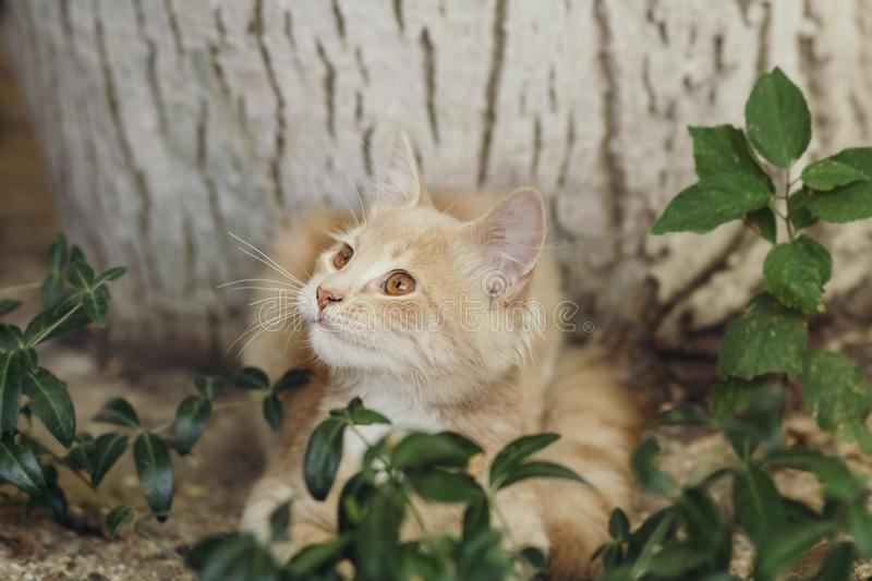 Summer portrait of a cute ginger kitten with brown eyes lying under a tree trunk on the ground among green plants, cat looking up. Summer portrait of a cute stock images