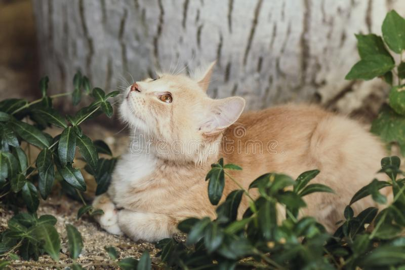 Summer portrait of a cute ginger kitten with brown eyes lying under a tree trunk on the ground among green plants, cat looking up. Summer portrait of a cute stock photos