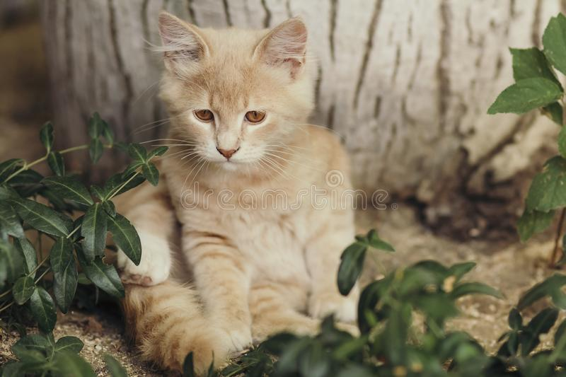Summer portrait of a cute ginger kitten with brown eyes lying under a tree trunk on the ground among green plants royalty free stock photo