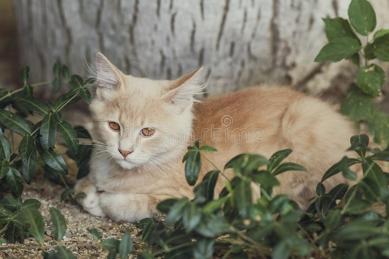 Summer portrait of a cute ginger kitten with brown eyes lying under a tree trunk on the ground among green plants royalty free stock image