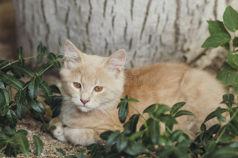 Summer portrait of a cute ginger kitten with brown eyes lying under a tree trunk on the ground among green plants stock photography
