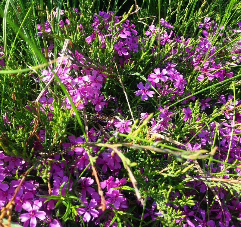 Summer puple flowers stock image