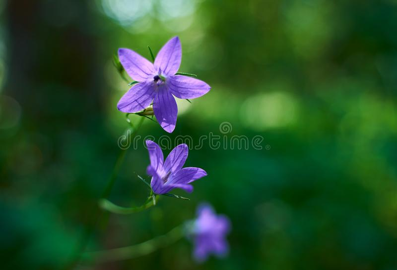 Summer purple flower campanula. On a background of bright green grass macro photography stock photos