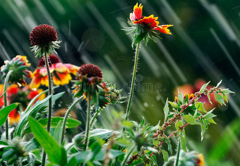 Summer rain. Image shows garden flowers been hit by summer rain royalty free stock photo