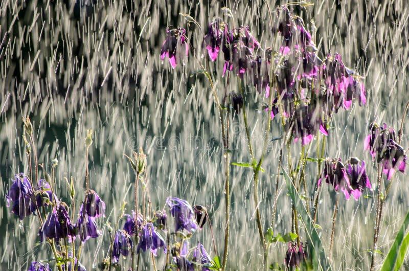 Summer rain in a garden with flowers of  Aquilegia vulgaris  European columbine, Common columbine, Granny`s nightcap, Granny`s royalty free stock image