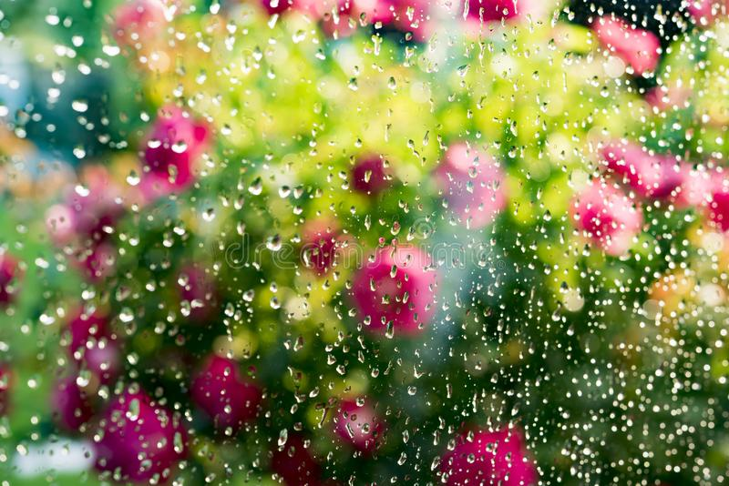 Summer rain on window. Blurred flowering rose bush behind glass of window with raindrops royalty free stock photos