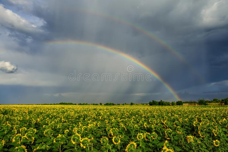 Summer rainbow over sunflower fields royalty free stock image