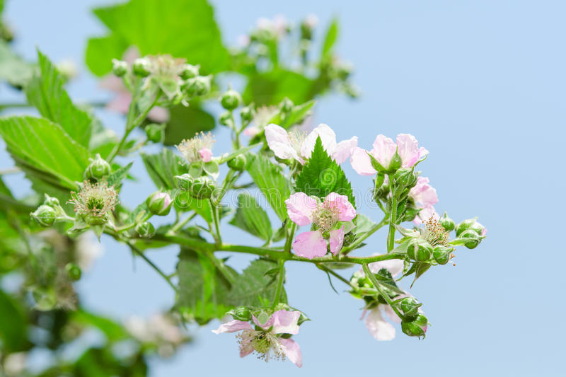 Summer raspberry blossoming bush with purple flowers. And lush leafage against clear blue sky stock photography