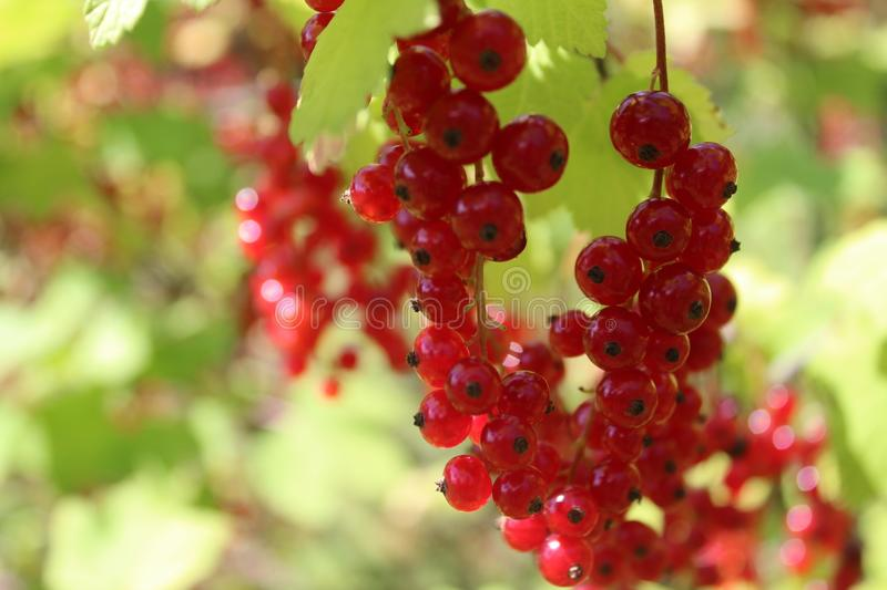 Summer redcurrant. The summer ribbies have a nice color stock photo