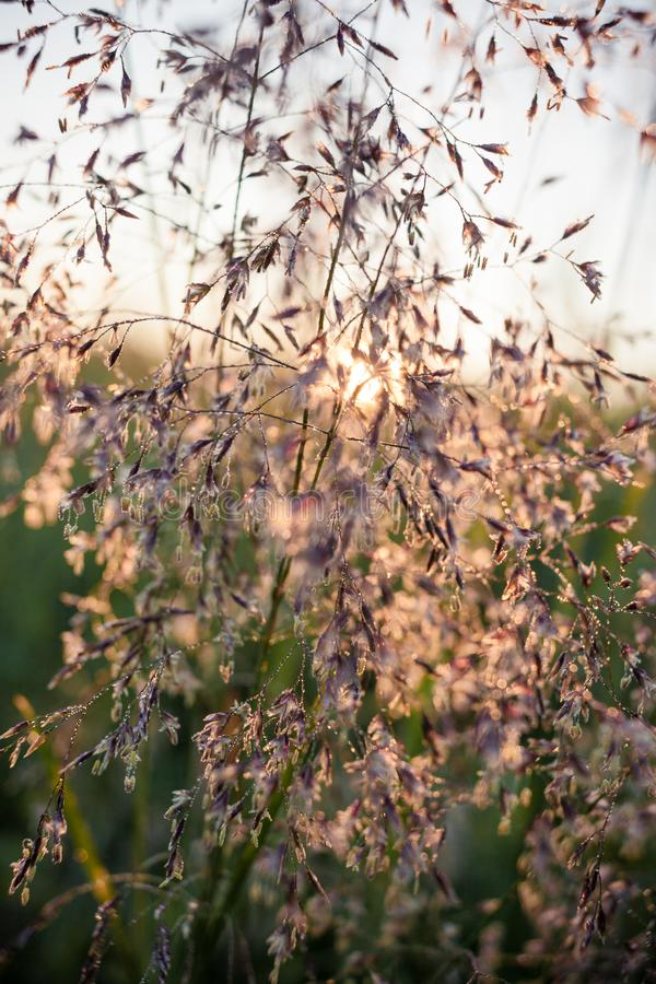 The summer rising sun shines through the stems of meadow grass. Selective focus royalty free stock photography