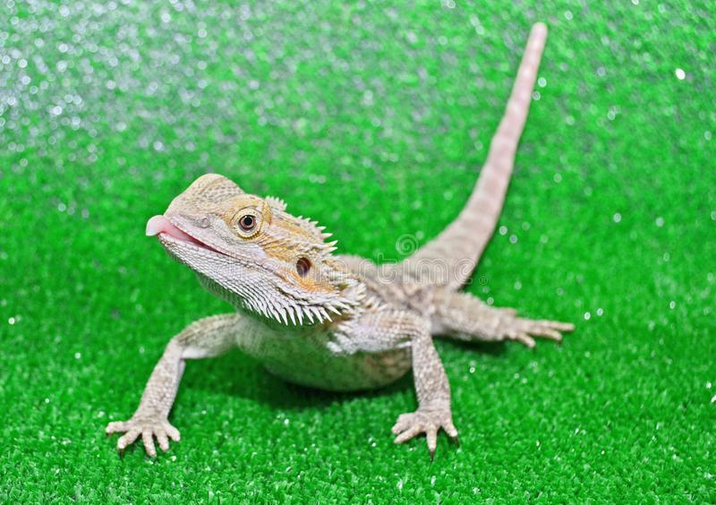 Bearded agama on a green background stock photo